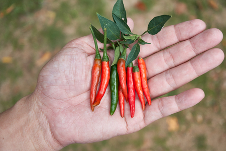 Hot and spicy Red Chilli on human  hand,fresh red chili Pepper.