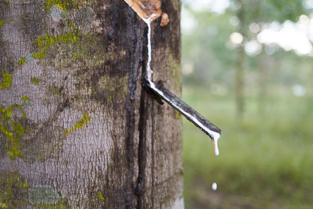 Latex being collected from a wounded rubber tree