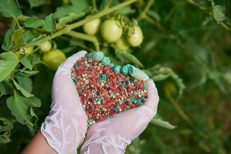 kleurrijke kunstmest in de hand van de vrouw. Wazig tomaat op een achtergrond.
