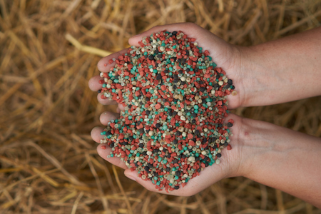 fertilizer in farmer hand on  rice straw background. Stock Photo
