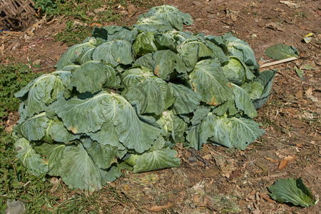 Green cabbage is harvesting for sale.