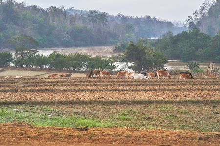 Cattle herd is eating grass in the rice fields.the rice field was harvested.Background is  big trees along the river.