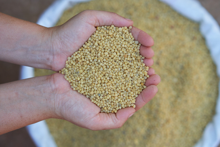 Diammonium phosphate (DAP),The typical formulation is 18-46-0,yellow color.fertilizer for plant in farmer hands. 版權商用圖片 - 97104092