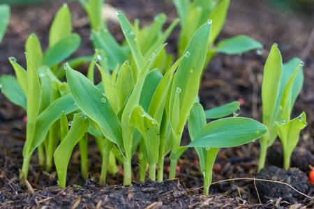 drop of warter on green leaves corn 版權商用圖片