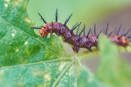 Caterpillar eating leaves