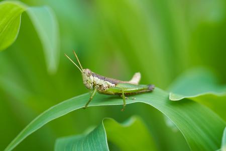 Grasshopper on fresh green leaves.