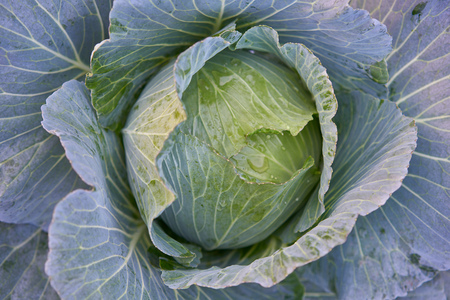 Fresh organic cabbage in the field. 版權商用圖片 - 127100882