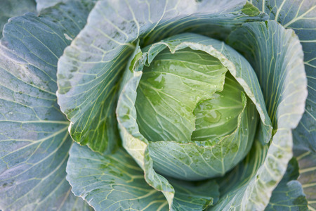 Fresh organic cabbage in the field.