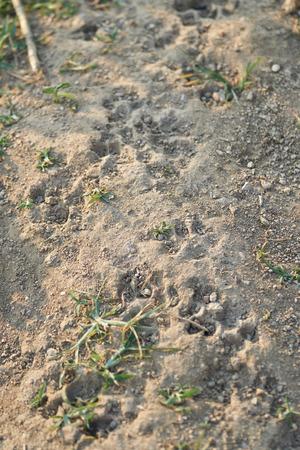 Dog footprints on the barren. 版權商用圖片 - 127101009