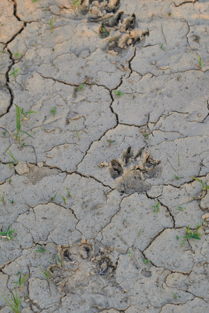 Dog footprints on the barren. 版權商用圖片 - 127101010