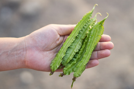 Winged bean pods in farmer hands. U THAITANEE province, Thailand