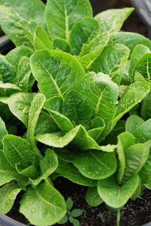 Close up fresh salad leaves