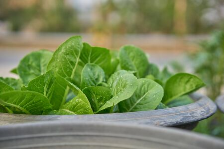 Close up fresh salad leaves 版權商用圖片 - 133124296