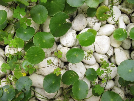 Tiger Herbals (circle leaves) and white rocks Stock Photo