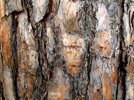 Texture of bark of pine tree