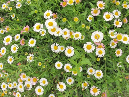A lot of white and pink daisy field