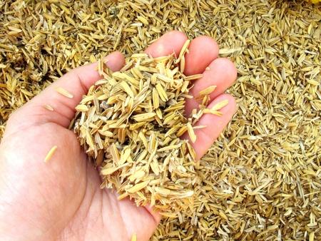 rice plant: Rice husk  chaff  on human hand