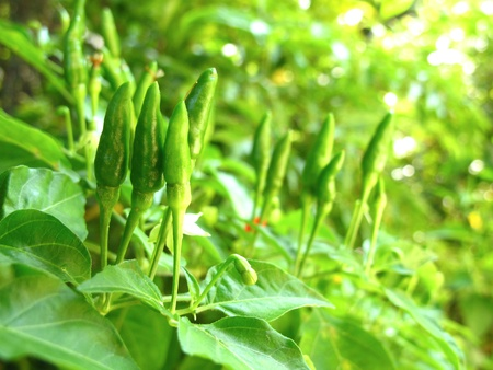 Many fresh green chili peppers on tree Stock Photo - 13322293