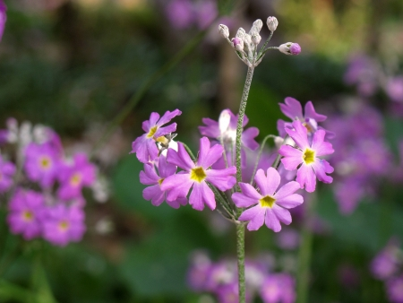 Beautiful spring violet flower on field