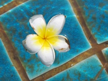 Plumeria or Frangipani or Leelawadee flower in pool  photo