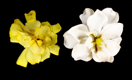 Gardenia augusta  L   Merr  wither and fresh on black background Stock Photo