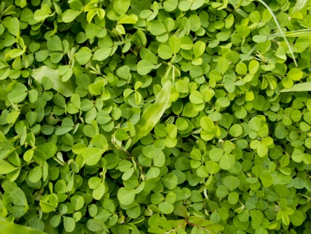 creeping oxalis: Pattern of Wood sorrel or Oxalis acetosella L  field