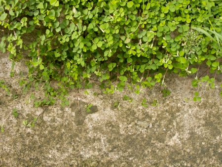 creeping oxalis: Wood sorrel or Oxalis acetosella L  on concrete floor with space Stock Photo