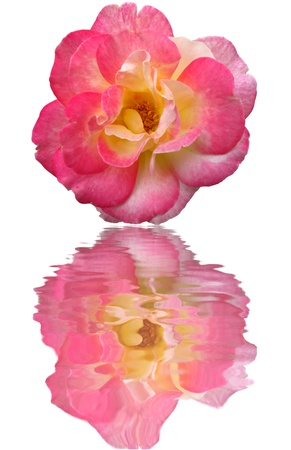 reflect: Close up big pink rose isolated reflect in water