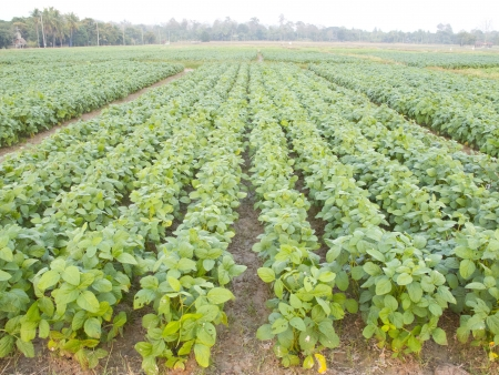 Cultivated seedling soybean field in farmland Stock Photo