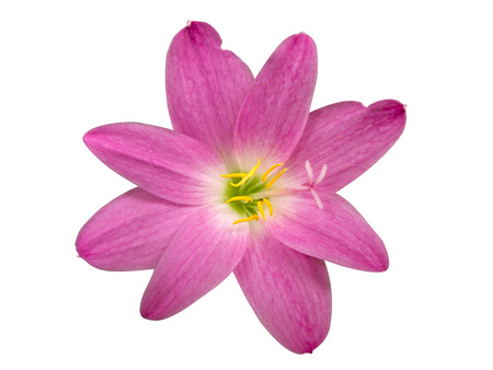 Zephyranthes Lily, Rain Lily ,Fairy Lily, Little Witches in Pink color isolated with clipping path Stock Photo