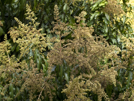 Mango flower on tree in garden