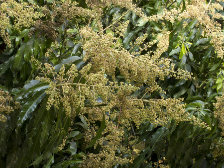 Mango flower on tree in garden photo