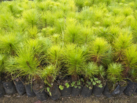 Group of young pine tree seedling in plastic pot Stock Photo