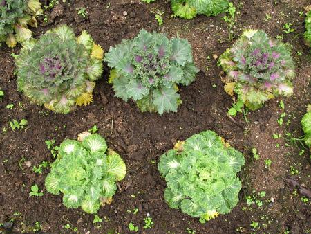 Lettuce salad vegetable grow on ground