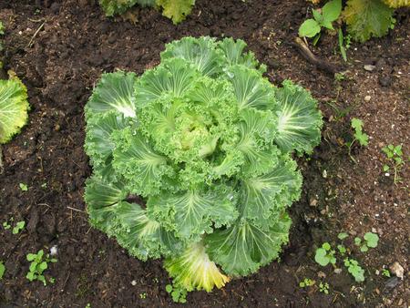 Single lettuce salad vegetable grow on ground