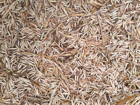Many dry bamboo flower fall on ground as background