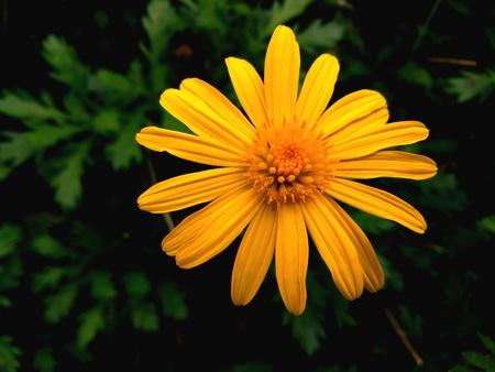 on yellow daisy: Yellow Daisy Flower Stock Photo