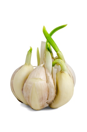 Sprouting garlic clove isolated on white background photo
