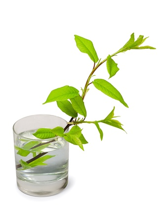tree branch with green  leaves in glass of water isolated on white