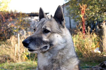 Siberian husky dog portrait outdoors in autumn. Pet Archivio Fotografico