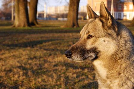 Siberian husky dog portrait in a city park. Pet