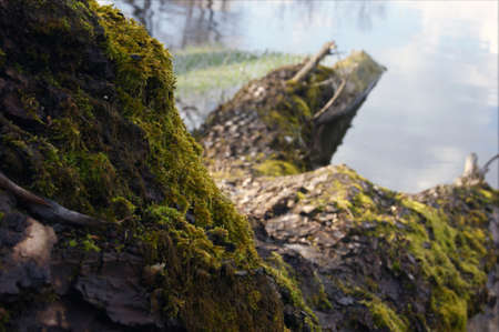 View of a fallen log covered with moss lying near the banks of a river or lake. Macro shot. Фото со стока