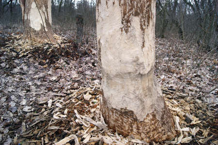 Large bark of a tree trunk gnawed by beavers in the forest. Chipped wood and sawdust around the tree. Beavers build a dam near a stream or look for food. Banco de Imagens