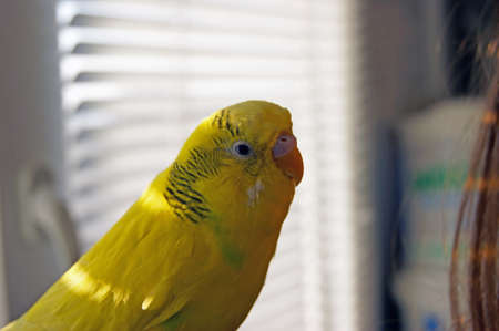 Funny budgerigar. Cute yellow budgie parrot looking at the camera. Tamed pet.