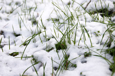 Green grass sprouts from under the snow that melts in the spring. Stockfoto