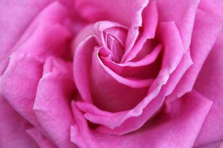 Beautiful pink rose in the garden. Natural background.