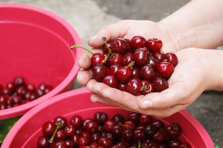 Hands holding and showing fresh picked organic cherries. Harvest season in the garden.