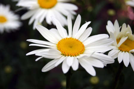 Chamomile flower blooming on a background of blurry flowers of chamomile. Garden flowers.