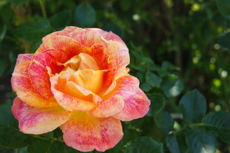 Beautiful yellow-red rose in the garden. Leafy blurred background.