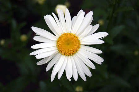 Chamomile flower blooms on a background of blurred greens. Garden flowers. Stockfoto